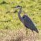 gray heron 4