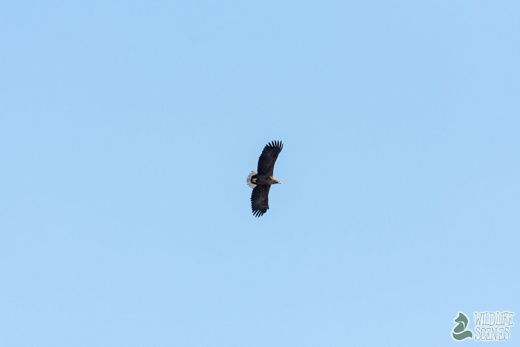 white-tailed eagle 6