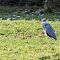 gray heron 1