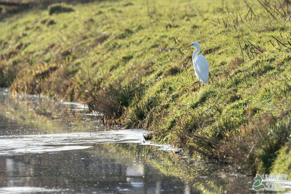 great white heron 1