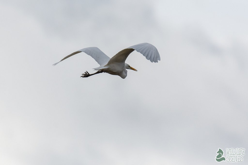 great white heron in flightmode