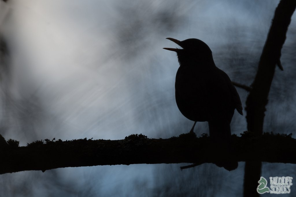 singing blackbird