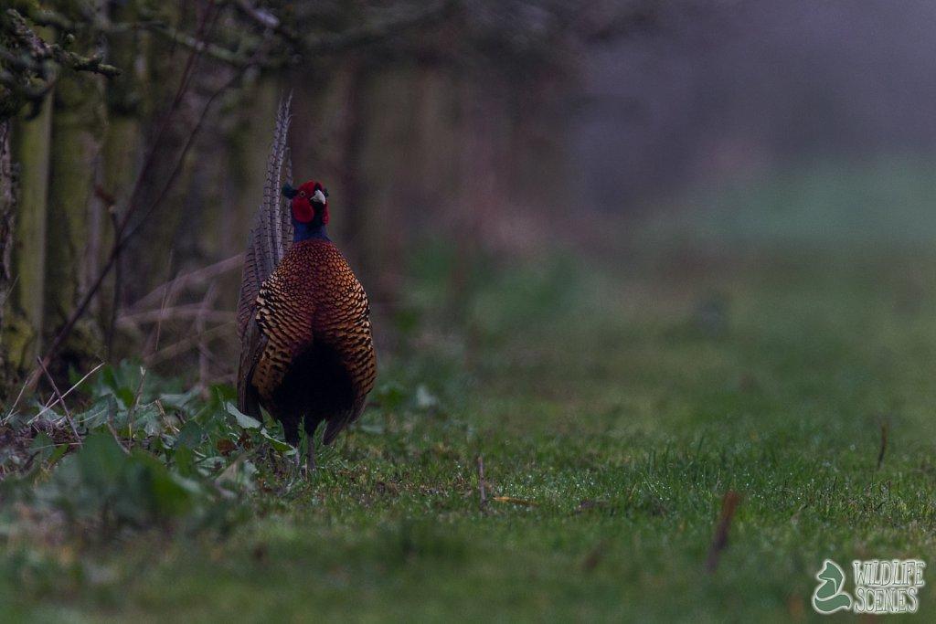 stiffed pheasant