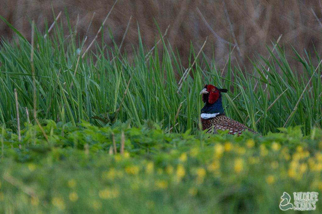 hiding pheasant