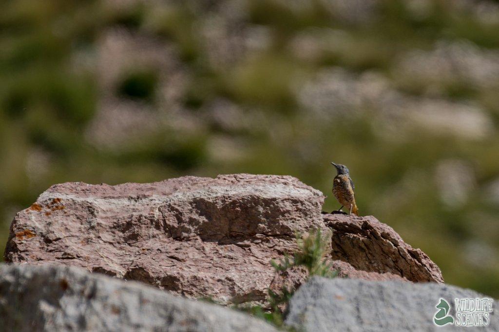 female rock thrush