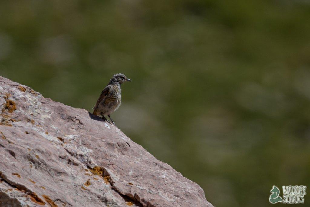 juvenile rock thrush