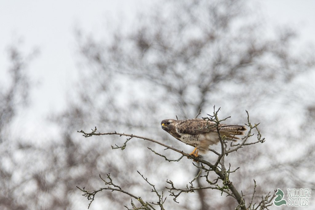 common buzzard 1