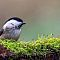 willow tit in the moss