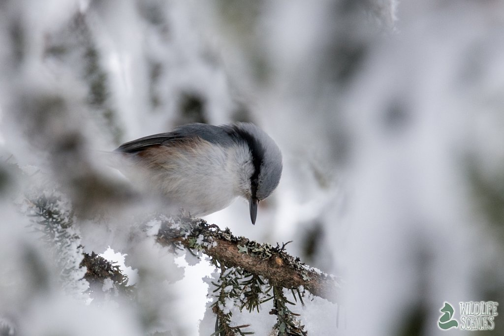 nuthatch inspect