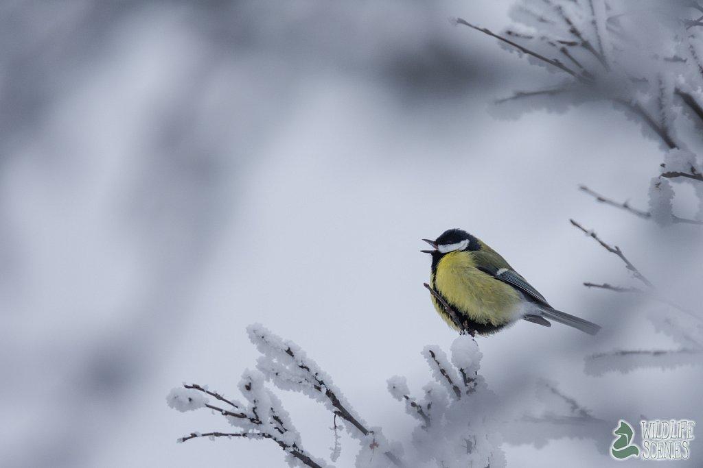 snowy singer
