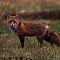 foxi fox