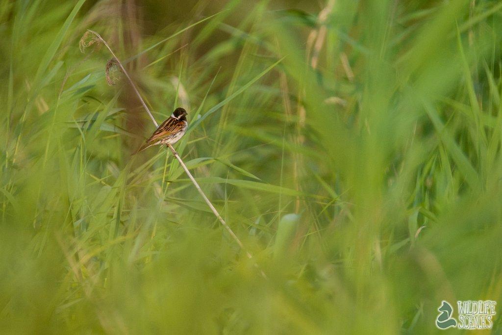 black headed reed resident