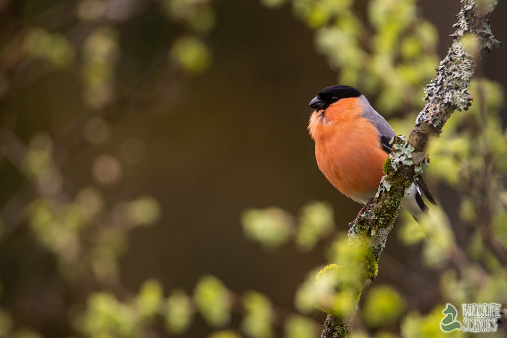 bullfinch in contrast